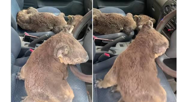 Australia, koala terrorizzati dalle fiamme salvati in un auto: il video che commuove il web