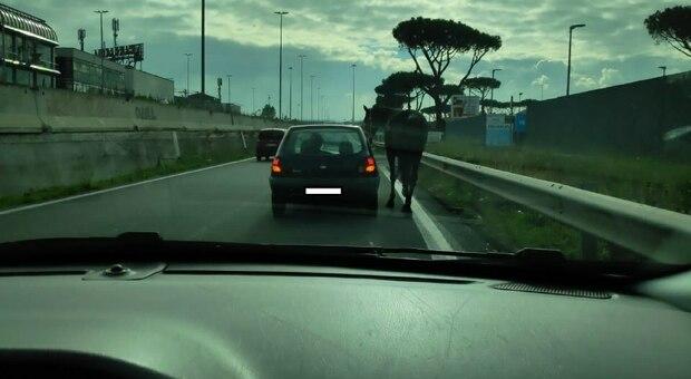 Roma, Casamonica porta a spasso il cavallo con la macchina sul Gra. Il capo clan aveva la patente revocata