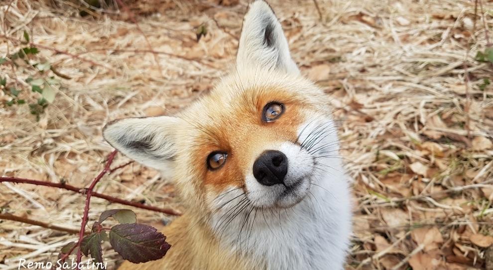 """L'ordinanza del sindaco: """"Uccidere le volpi ovunque ed a qualsiasi ora"""". (immagine da Il Messaggero di Remo Sabatini)"""