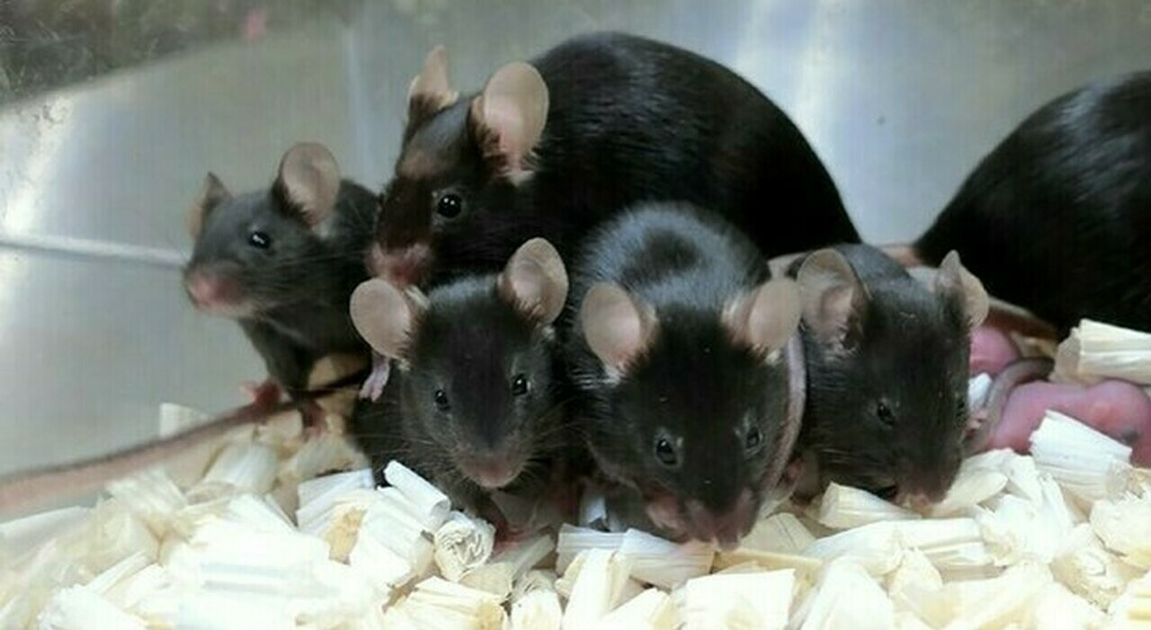 """Cina, topi maschi che partoriscono: l'esperimento choc """"alla Frankenstein"""" denunciato dalle ong animaliste"""