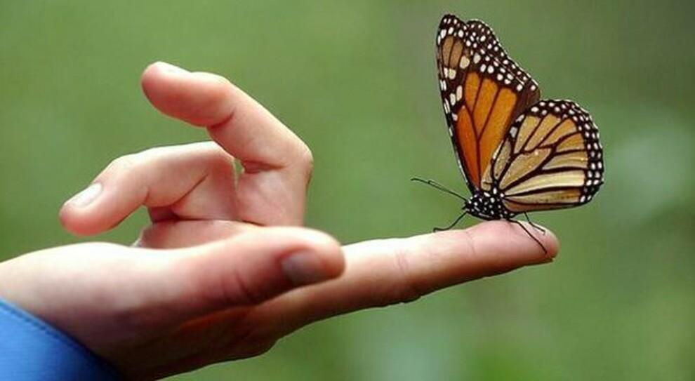 Farfalle monarca a un passo dall'estinzione. Lo studio: «Migrazione di milioni di esemplari ridotta a meno di duemila unità»