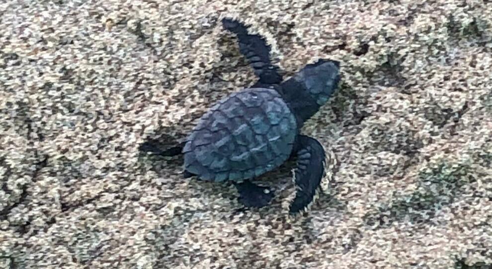 Una delle piccole tartarughe nate questa mattina a Fondi