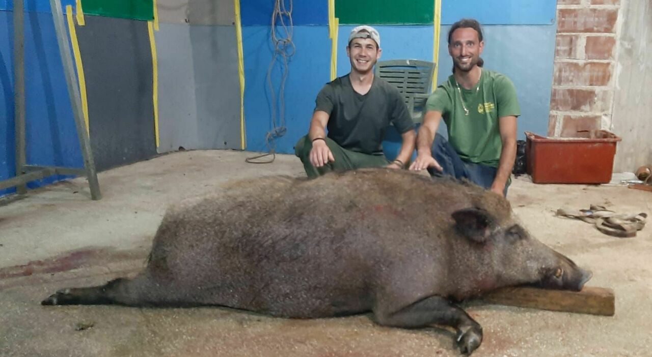 Terni, abbattuto un cinghiale gigante. «Pesa oltre 200 chili, è il più grande di sempre»