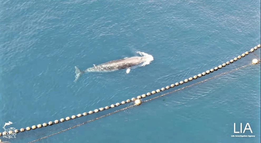 Balena intrappolata da 18 giorni nelle reti dei pescatori. Proteste internazionali: «Sta morendo di fame, liberatela!»