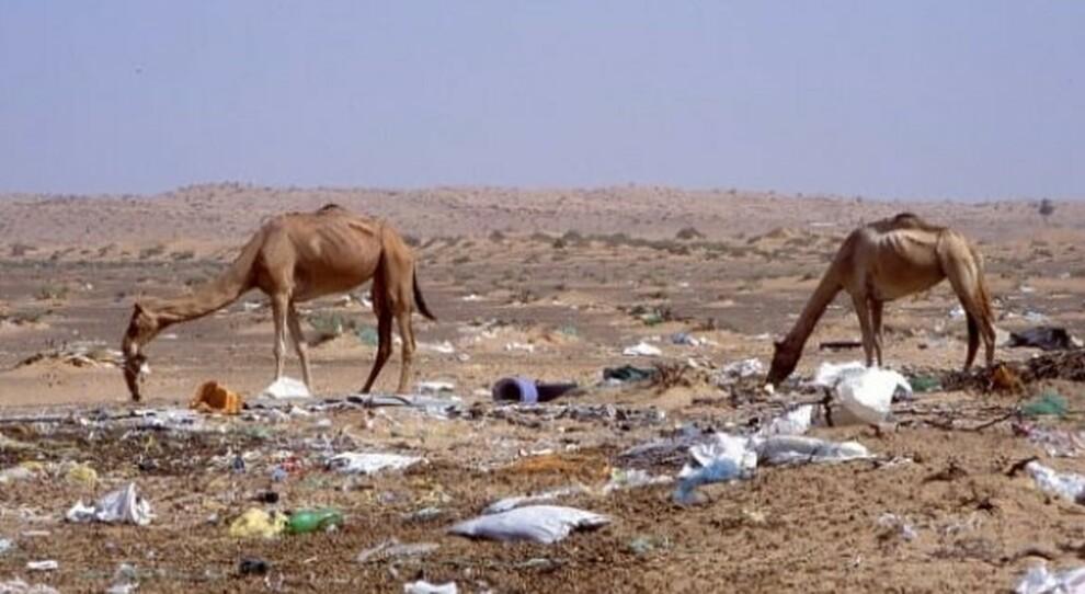 «L'inquinamento da plastica ha ucciso centinaia di cammelli nel deserto»: l'allarme degli esperti