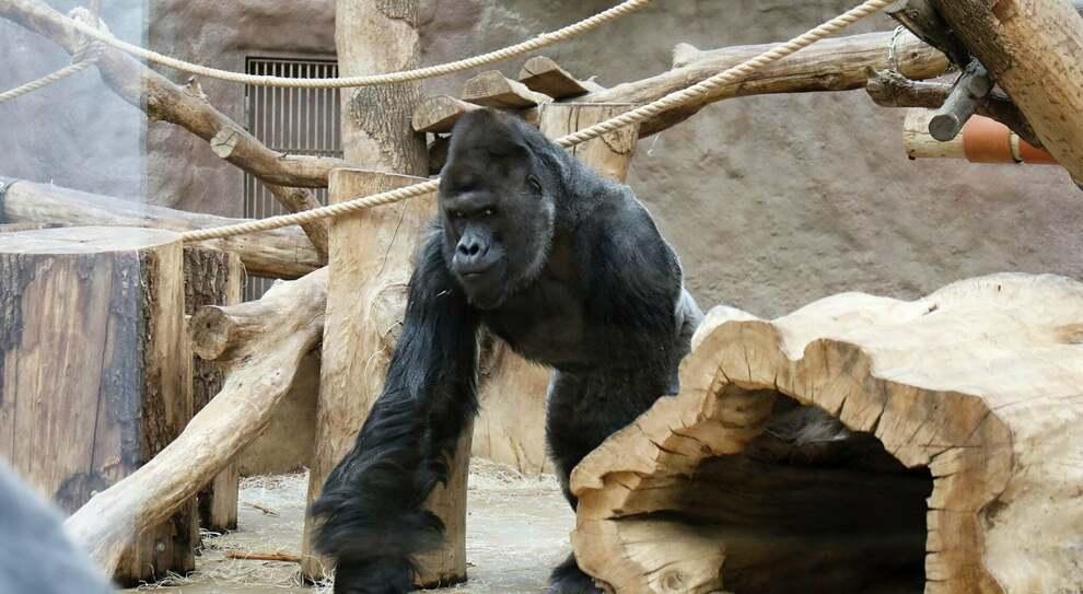 Covid, gorilla risulta positivo e perde appetito, mentre due leoni hanno la tosse