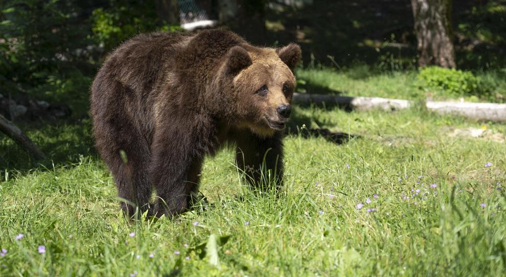 Tre orsi salvati in un circo in Lituania: ora sono ospiti del Parco d'Abruzzo