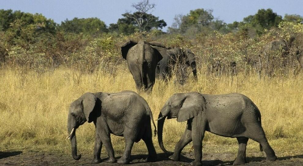 Namibia, 170 elefanti a rischio estinzione finiscono all'asta. Ira associazioni ambientaliste