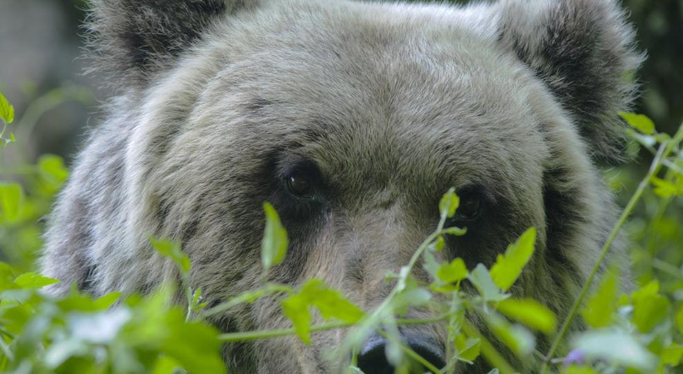 Dai boschi al mare, un orso bruno a spasso per i vigneti di Ortona