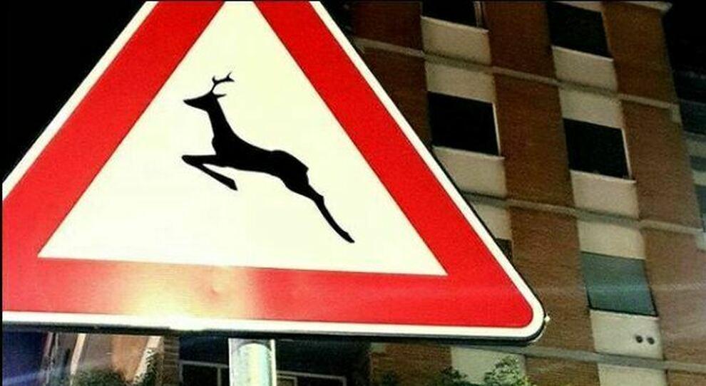 Cinghiali, istrici e un capriolo sui segnali stradali: Roma città della fauna selvatica