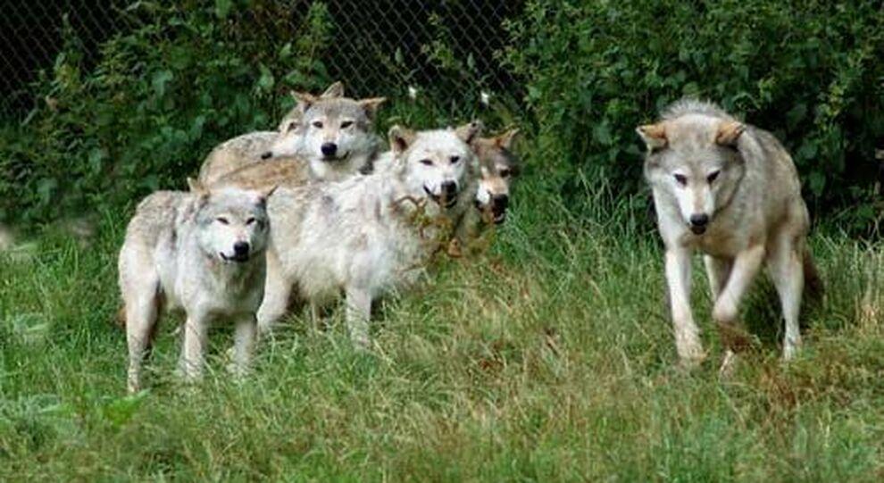 Rieti, sei pecore uccise e altre smarrite in Sabina per l'attacco di un  branco di lupi