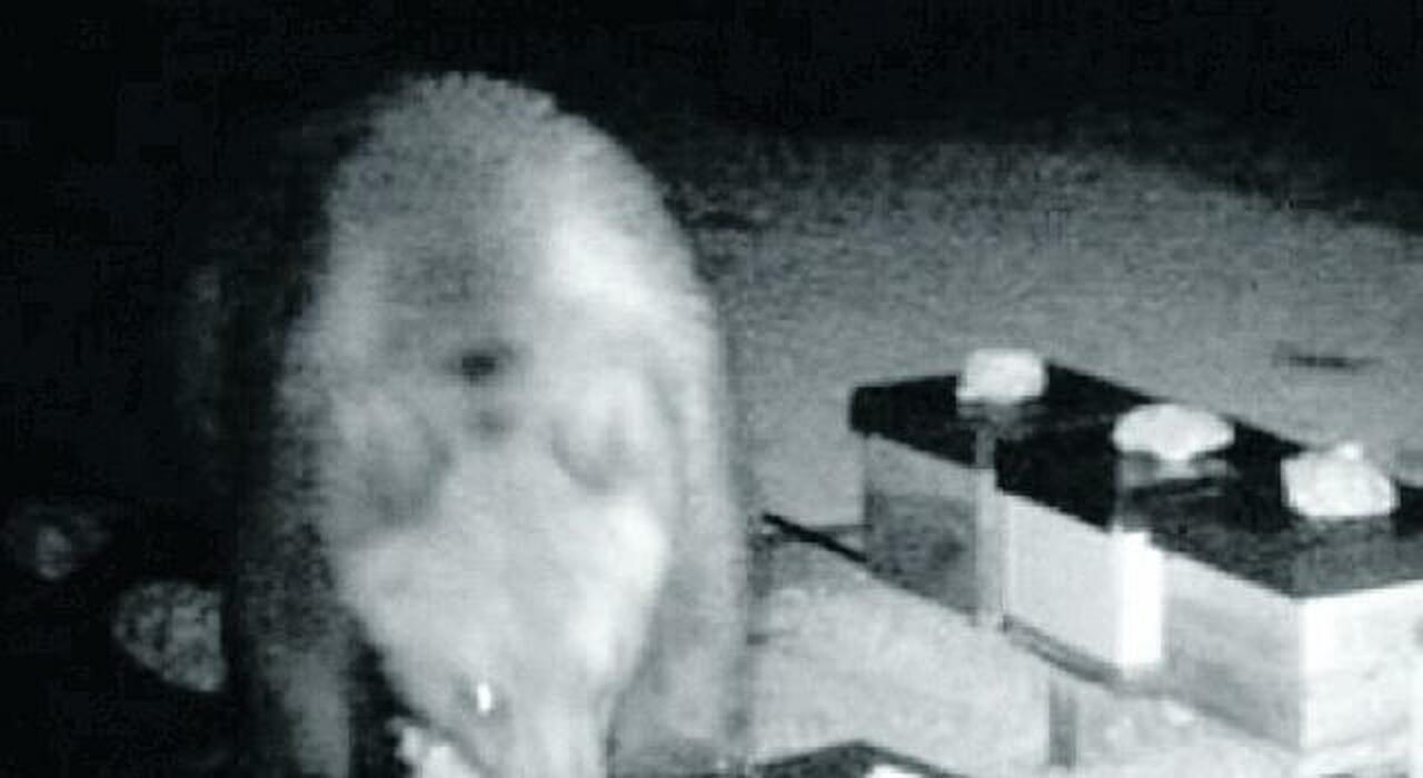 Subiaco, l'orso marsicano fa razzia di miele