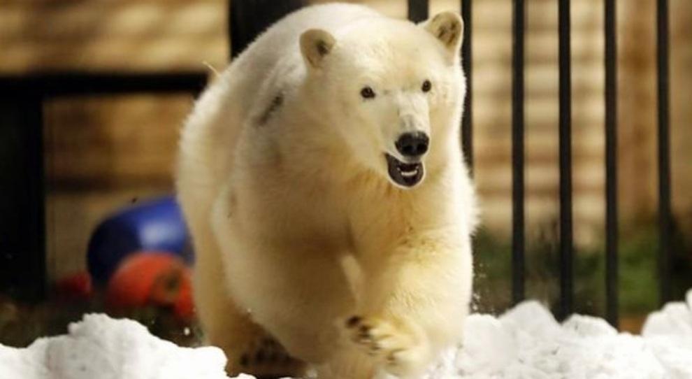 Orso polare mangia pallina di gomma lanciata dal visitatore dello zoo in Russia e si accascia: così è morta Umka