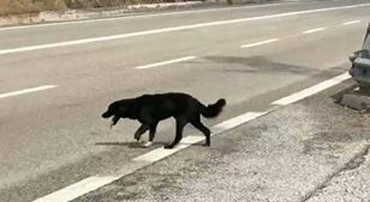 Il cane che vaga in autostrada e un indifferenza che spaventa