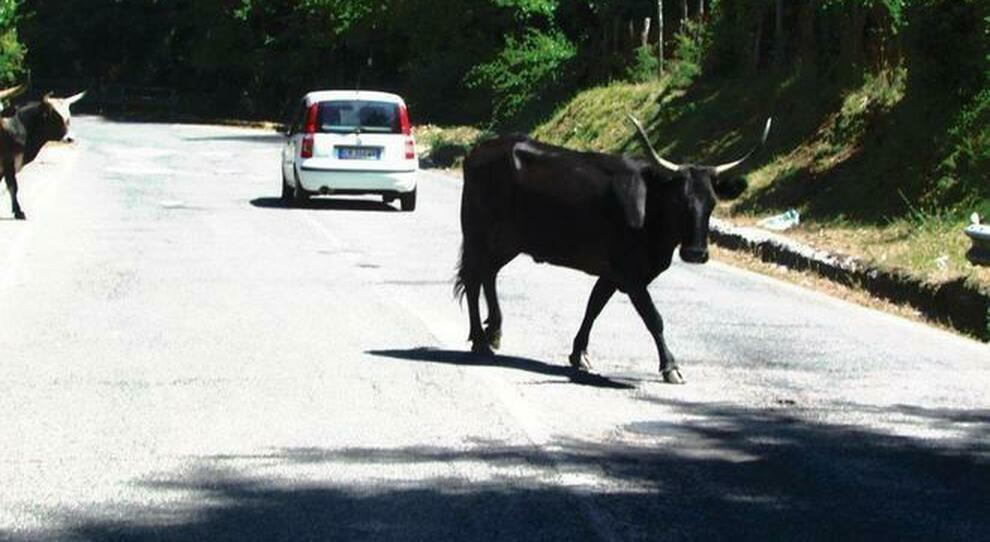 Lazio, incidenti stradali causati da bovini: paga la Regione. La sentenza del giudice di Pace