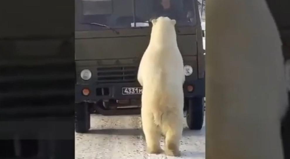 Mamma orsa e i suoi cuccioli assaltano il camion dei rifiuti per trovare cibo. Le immagini fanno il giro del mondo