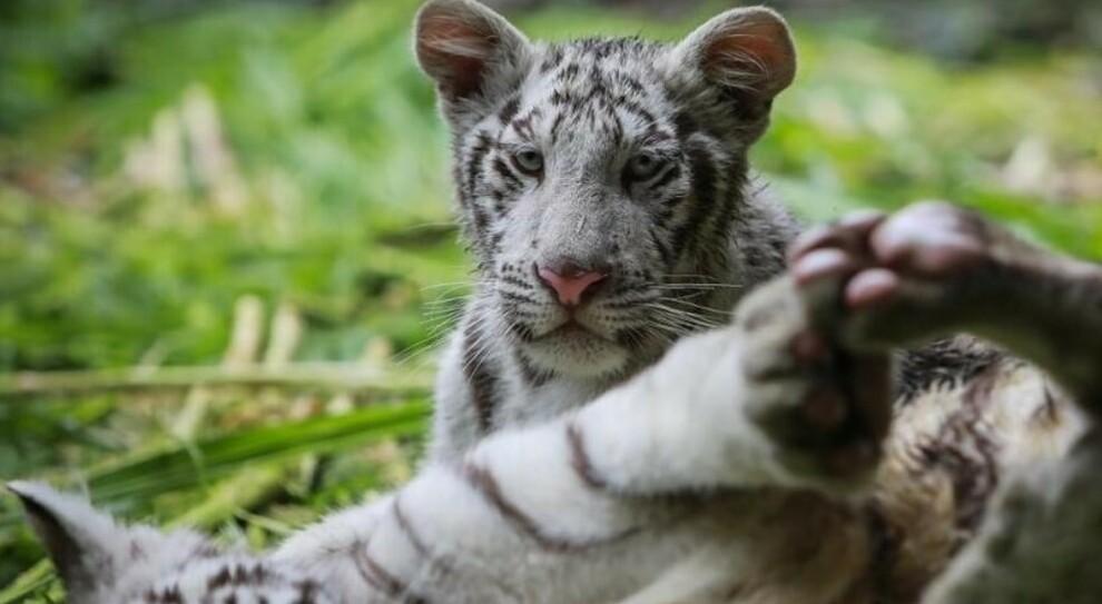 Covid, due cuccioli di tigre bianca morti a causa del virus in uno zoo: indagini in Pakistan