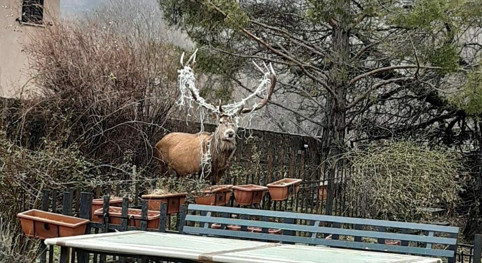 La storia del cervo con le luminarie fa il giro del web: catturato e liberato dai veterinari del Parco