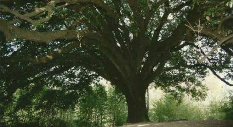 Morlupo, rinasce l'albero di San Francesco d'Assisi dopo otto secoli