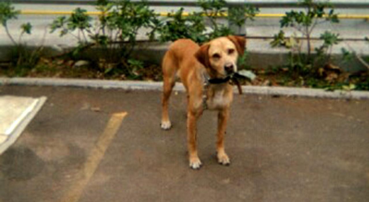 Invalida e sola, le rubano l'amato cagnolino Mandorlo. «Non ho altro nella vita»