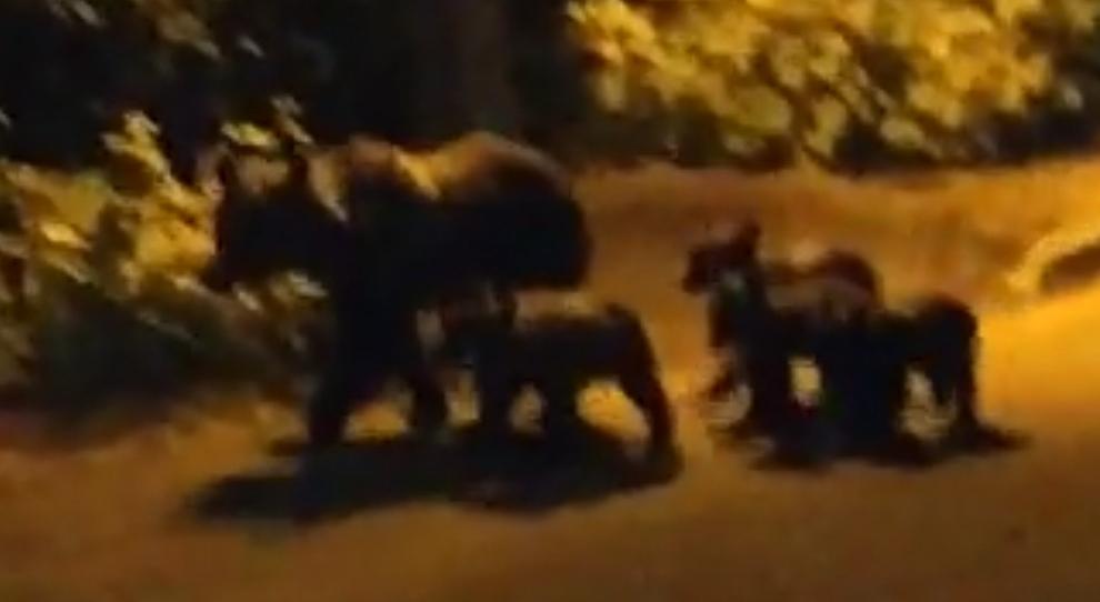 Mamma orsa e quattro cuccioli si svegliano dal letargo: avvistati mentre attraversano l'autostrada