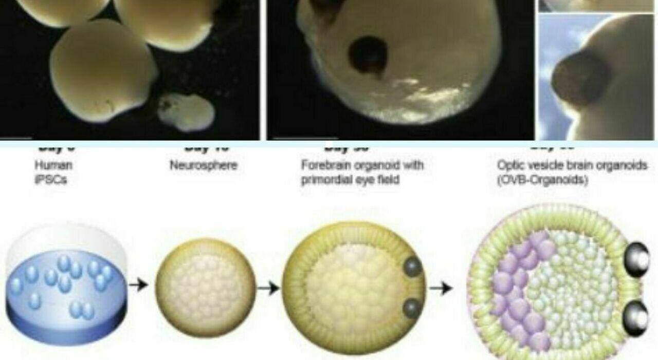 Creato il primo cervello in 3D con due occhi: la scoperta grazie allo studio delle cellule staminali