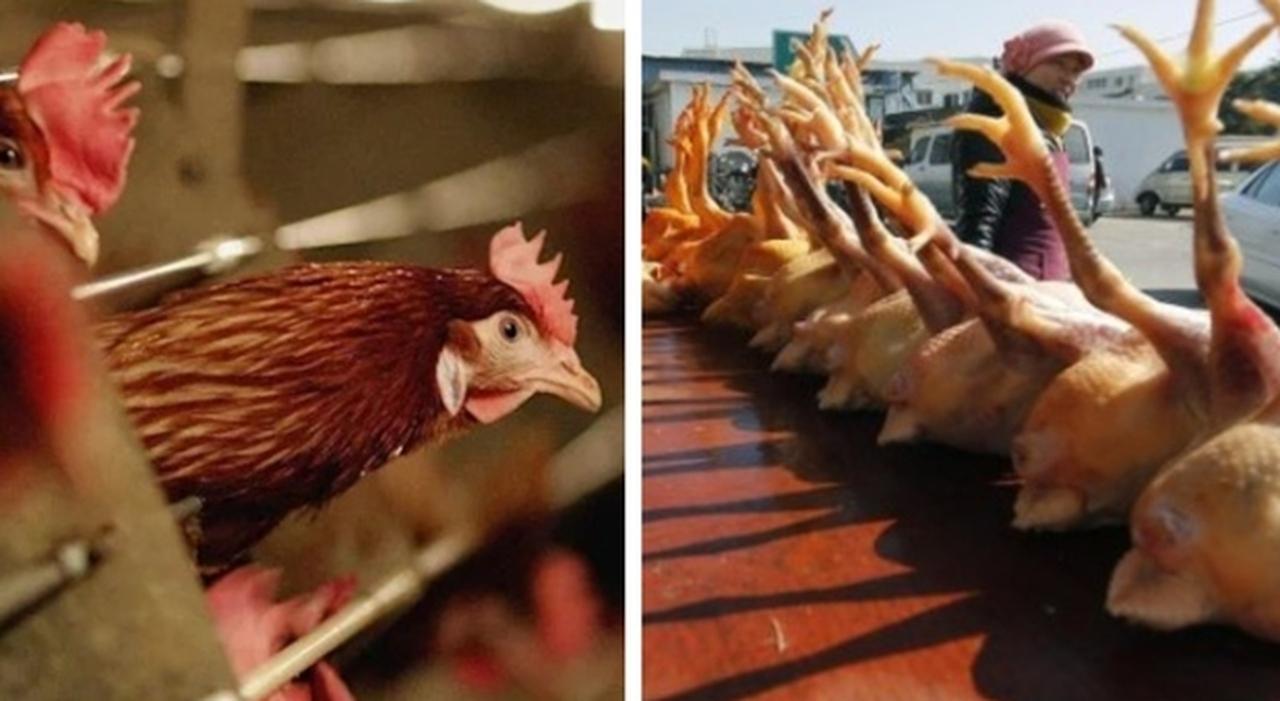 Influenza aviaria, primo caso in Cina. Ma l'Oms: «Non si trasmette da uomo da uomo»