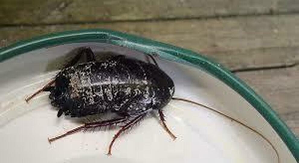 San Valentino, scarafaggi con il nome dell'ex in vendita allo zoo: «Li daremo in pasto ai nostri animali»