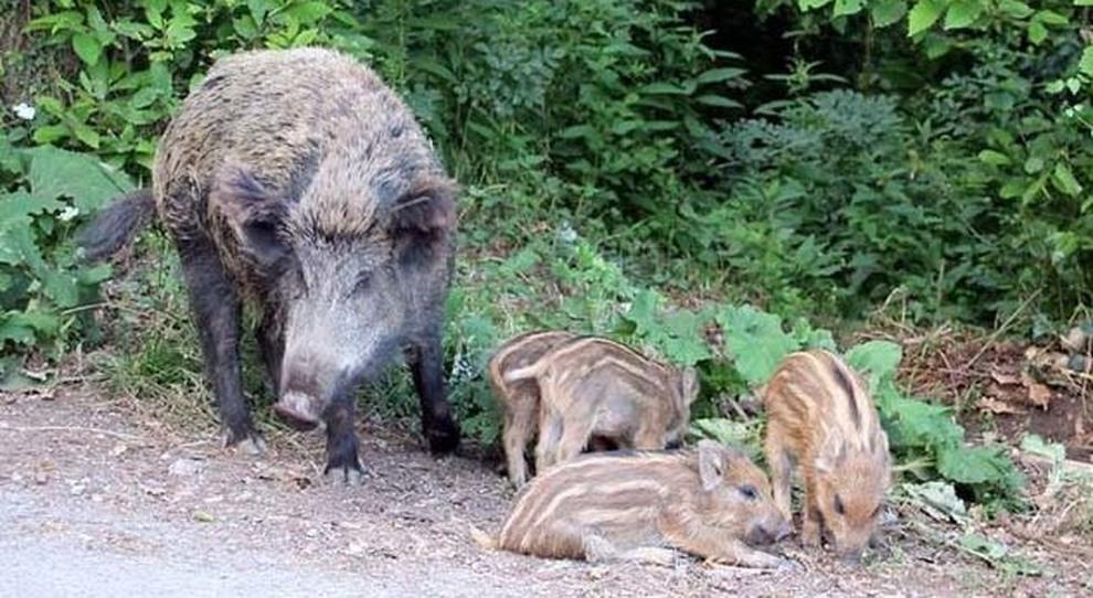 Cinghiali e maiali, 4 casi di trichinella. I veterinari: «Dalla carne infetta larve che intaccano i muscoli del'uomo»