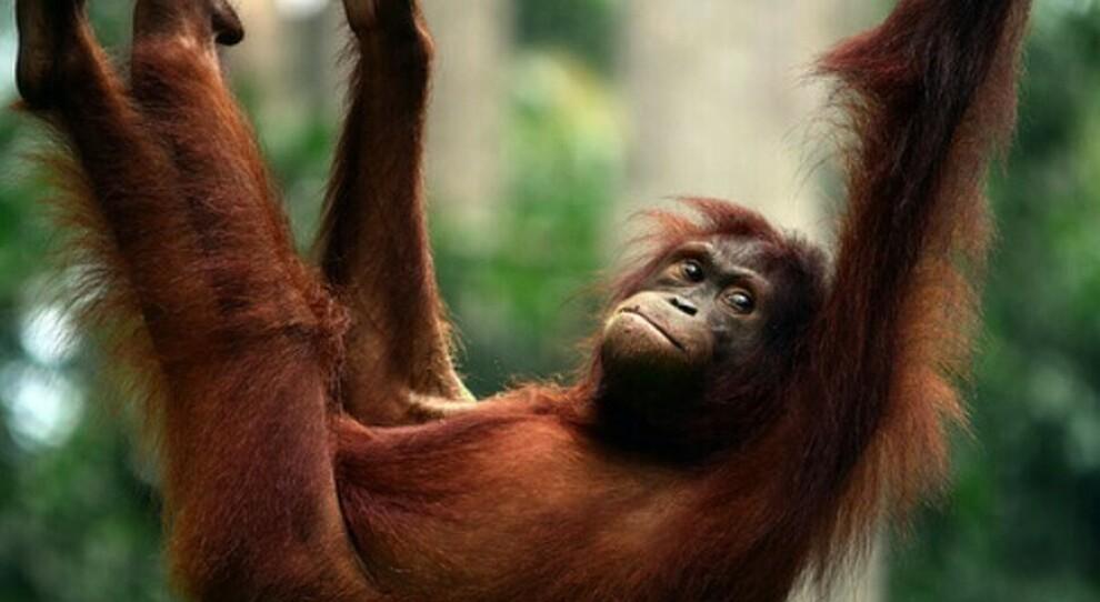 Covid, i grandi primati rischiano di essere spazzati via dal virus: Orangotanghi e bonobi vaccinati a San Diego