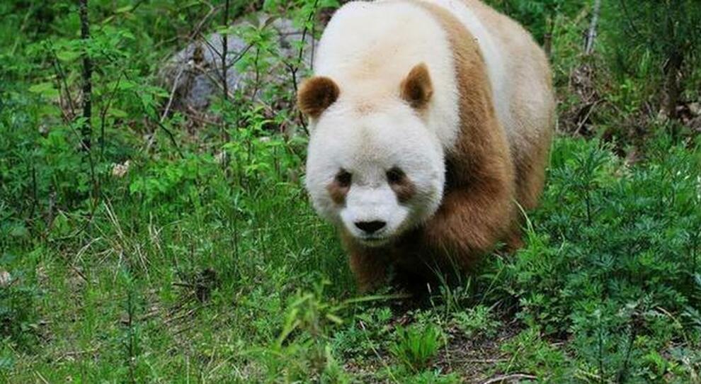 Cina, ideato un concorso online per suggerire il nome di 4 cuccioli di panda appena nati