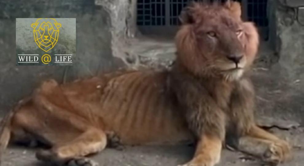 Ombra, il leone affamato dello zoo nigeriano: «Così quel visitatore ha permesso di salvarlo dalla morte»