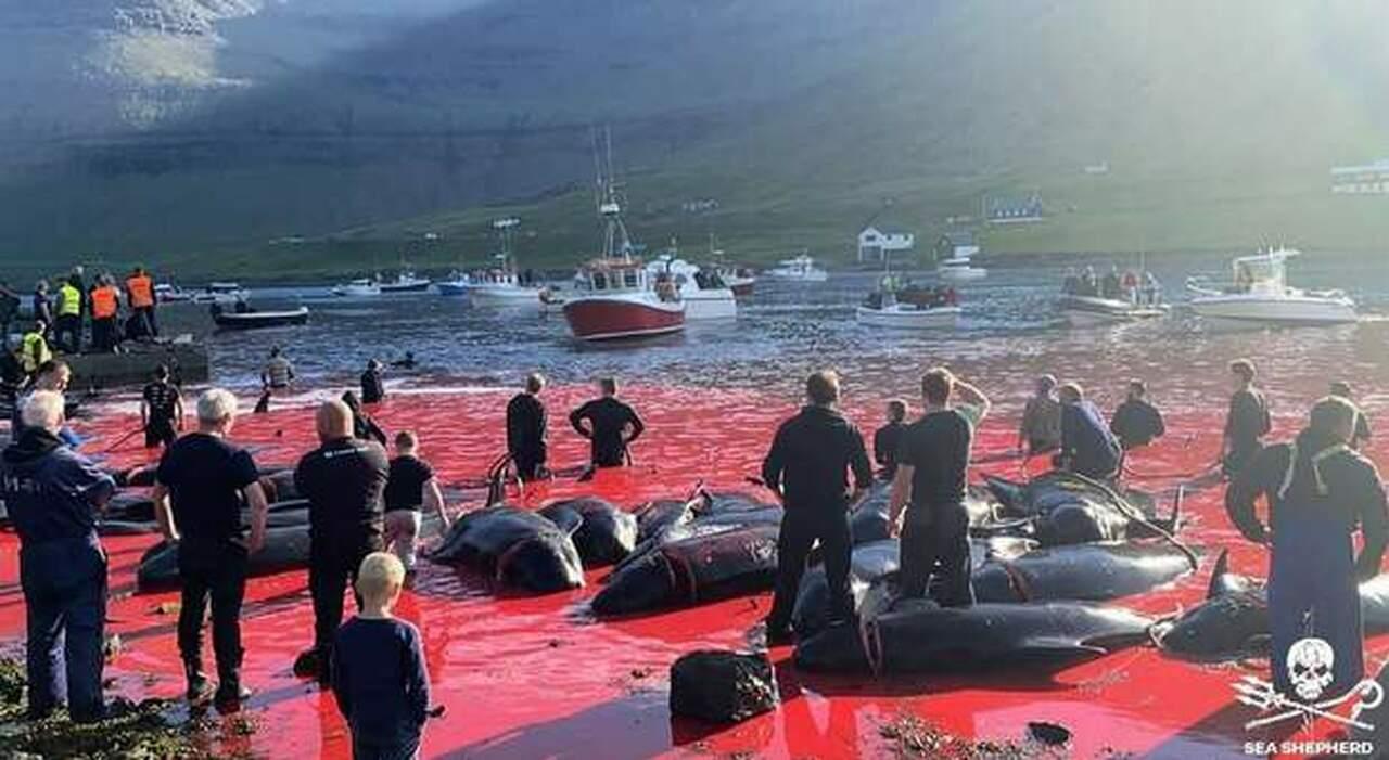 La baia rossa del sangue delle balene uccise (immag diff da Sea Shepherd)