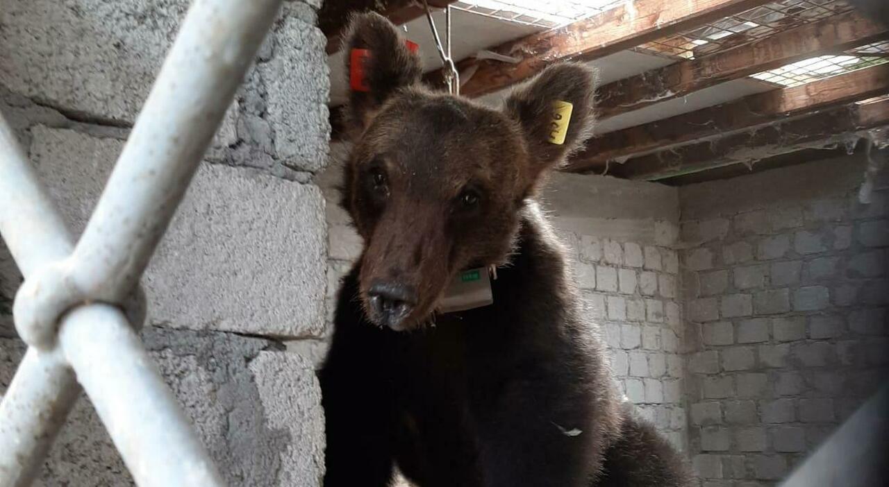 L'orsetto Juan Carrito va a caccia di galline e rimane intrappolato nel pollaio: sparati colpi in aria per farlo fuggire