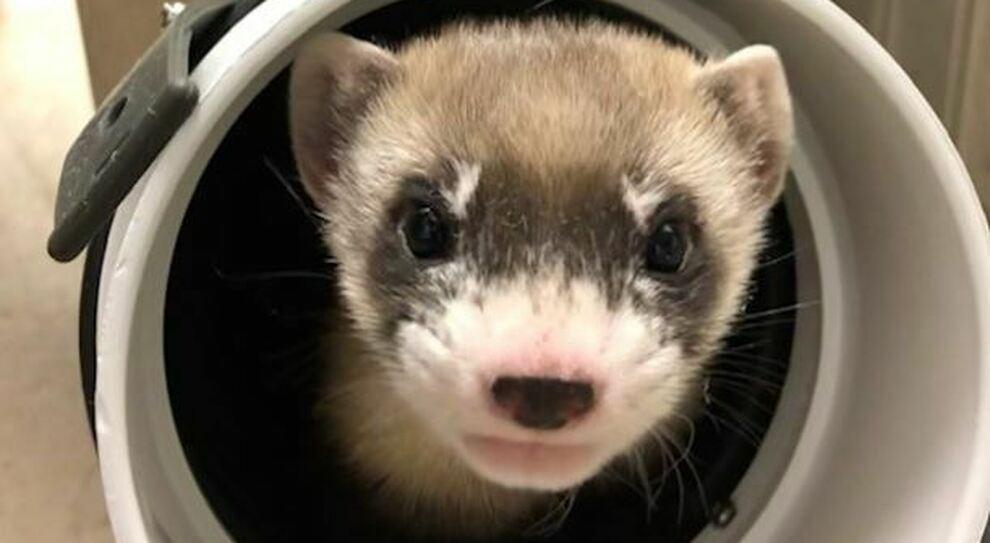 Il Furetto Elizabeth Ann è il primo animale americano in via d'estinzione ad essere clonato