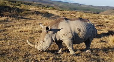 impotenza del corno di rinoceronte