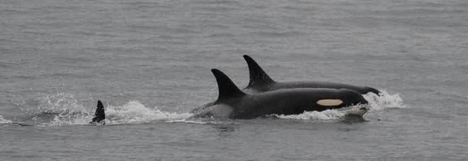L'orca J-35 ripresa dai ricercatori
