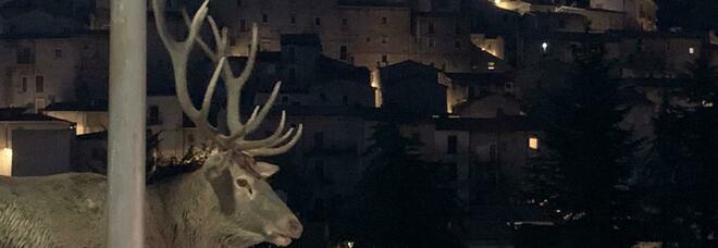 Sfilata di cervi nel centro di Villalago, il maschio si pavoneggia (foto di Rosalba Mazzaglia)