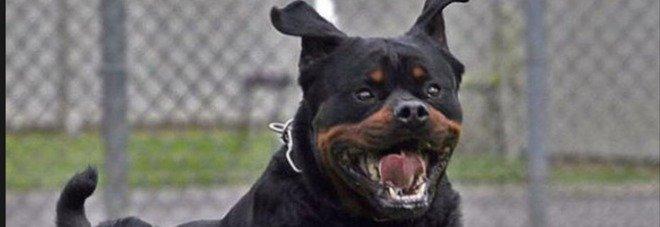 Donna aggredita in casa da due rottweiler: «Ferite profonde». Azzannato anche il fratello