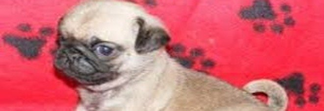 Falconara Compra Cane Su Subitoit Ma è Una Truffa Un Denunciato