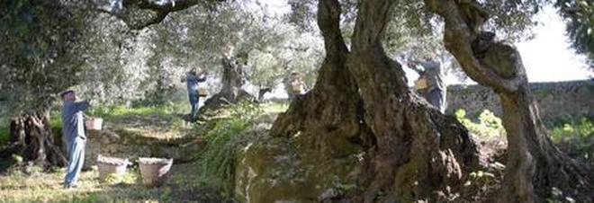 Chanel sceglie le olive della Sardegna per il suo elisir di giovinezza