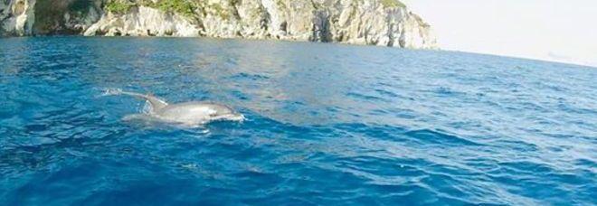 Latina, bagno coi delfini tra Ponza e Ventotene: le immagini fanno ...