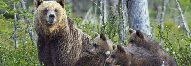L'orsa Amarena nasconde i 4 cuccioli e assalta il gregge: fuga con la pecora azzannata