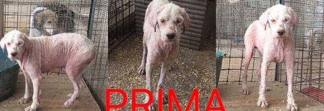 Paura per Dolly, la cagnolina maltrattata che stava per essere adottata è scappata: «Non si lascia avvicinare da nessuno»