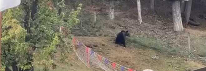 Irruzione dell'orso nel campo di tiro con l'arco a Roccaraso