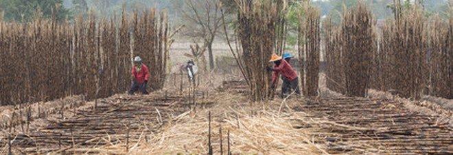 Le donne indiane nelle piantagioni di canna da zucchero scelgono di togliersi l'utero per mantenere il lavoro