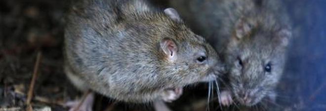 Francia, adolescente paraplegica attaccata da topi ricoverata in ospedale in gravi condizioni