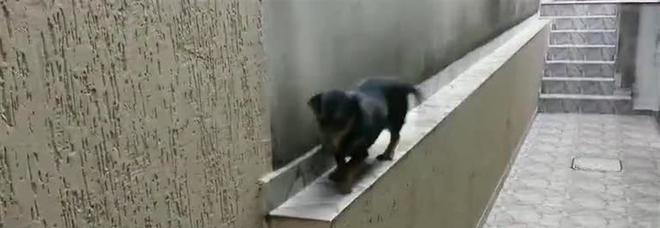 Il bassotto cammina all'indietro per non cadere, il video è tutto da ridere
