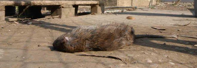 Topo morto nel silos, sequestrate 220 tonnellate di riso