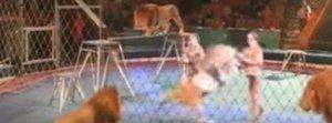 Paura al circo, il leone frustato reagisce e attacca il domatore Il video choc